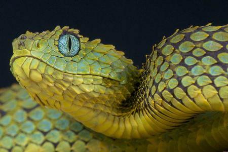 green eyes: Bush viper   Atheris squamigera