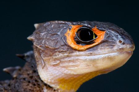 Krokodil skink helmskink Stockfoto