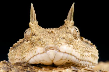 Horned viper   Cerastes cerastes Stock Photo