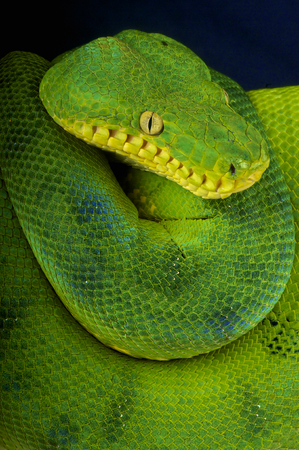 black boa: Emerald tree boa   Corallus caninus Stock Photo