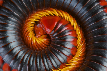 Red fire millipede   Aphistogoniulus corallipes
