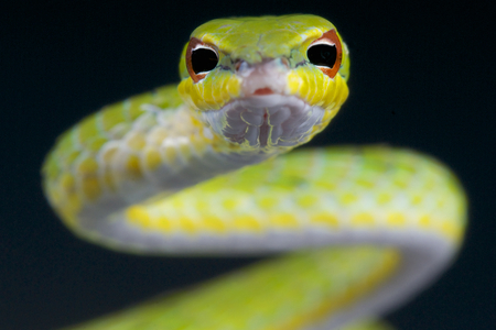 coiled: Malayan vine snake  Ahaetulla mysterizans Stock Photo