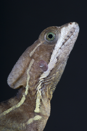 Basiliscus is a genus of large corytophanid lizards Stock Photo
