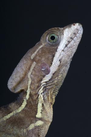 Basiliscus is een soort van grote corytophanid hagedissen Stockfoto