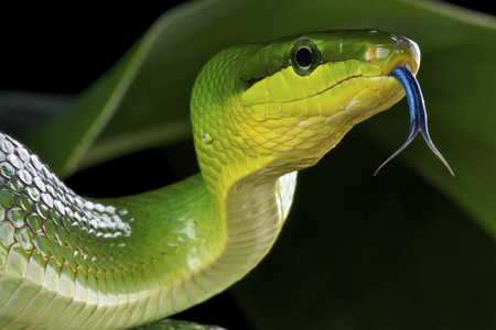 녹색 쥐 뱀 Gonyosoma의 oxycephalum 스톡 콘텐츠