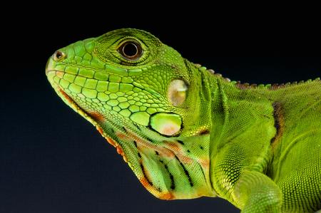 Groene leguaan Iguana iguana