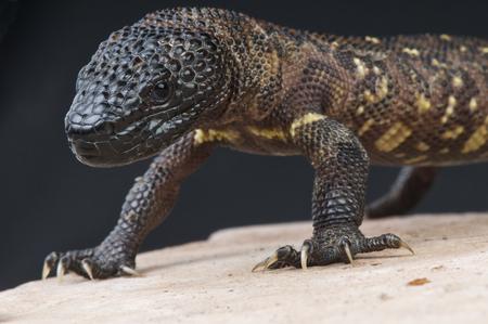 Beaded lizard   Heloderma horridum
