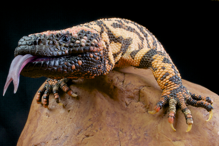 Gila monster   Heloderma suspectum Stock Photo