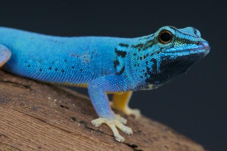 Blue day gecko   Lygodactylus williamsi