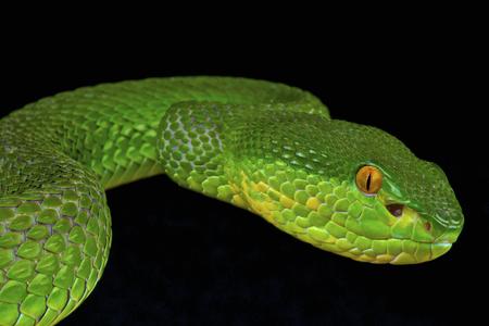 Green pit viper   Trimeresurus albolabris  photo