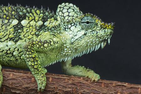 frilled: Casqued Chameleon   Trioceros hoehnelli