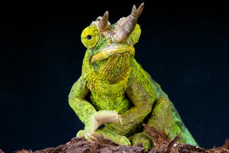 s horn: Jackson chameleon   Trioceros jacksonii Stock Photo