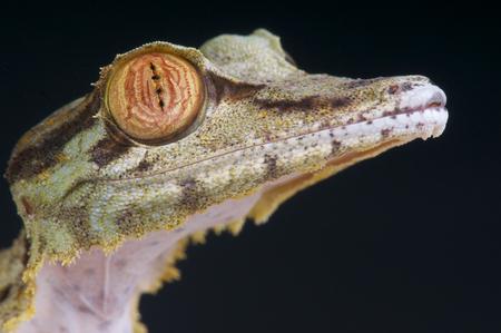 Leaf staart gekko madagaskarplatstaartgekko