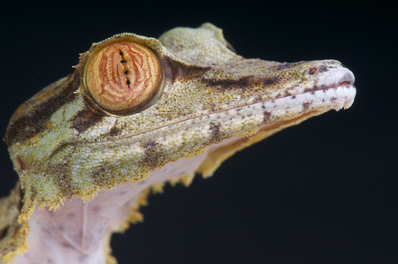 Leaf-tailed gecko   Uroplatus fimbriatus