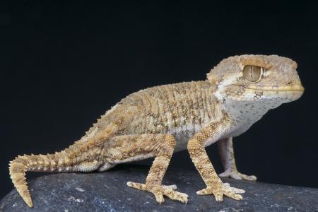 Gehelmde gekko Tarentola chazaliae Stockfoto