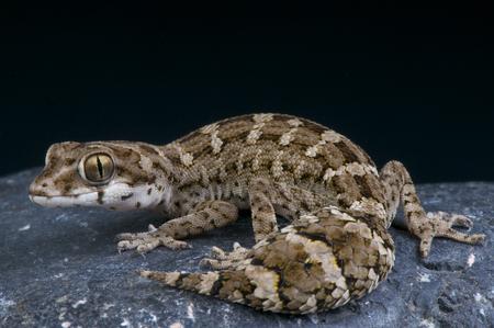 Adder gekko Teratolepis fasciata