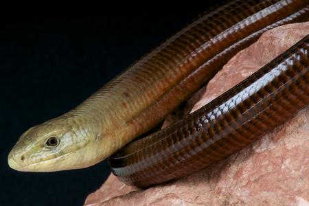 diurnal: Scheltopusik   Pseudopus apodus Stock Photo