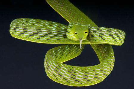 prasina: Vine snake   Ahaetulla prasina