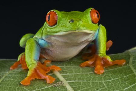 tree frog: Red eyed tree frog   Agalychnis callidryas Stock Photo