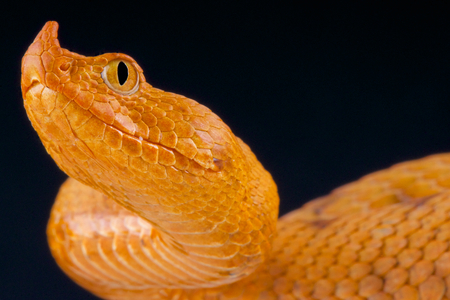 poison snakes: Long nosed viper   Vipera ammodytes