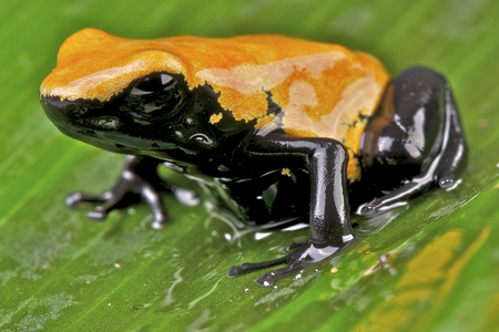 dart frog: Dart frog   Adelphobates galactonotus