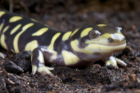 salamandra: Tiger salamandra Ambystoma tigrinum Foto de archivo