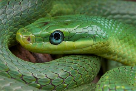 Emerald ratsnake   Rhadinophis prasinum Stock Photo