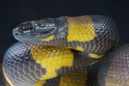 Geringde python Botrochilus boa