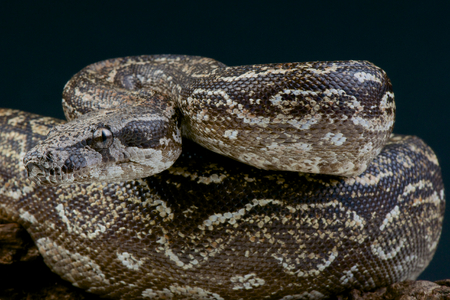 black boa: Argentine boa   Boa constrictor occidentalis Stock Photo