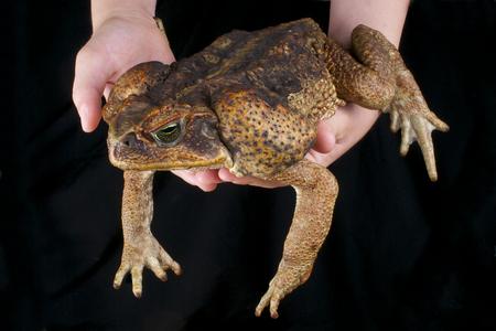 Cane toad   Rhinella marina Archivio Fotografico