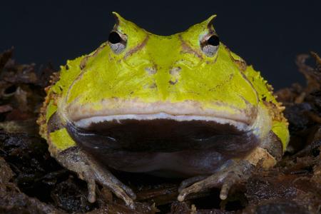 Surinam horned frog   Ceratophrys cornuta Stock Photo