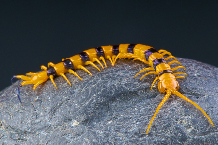 Indian tiger giant centipede Scolopendra hardwickei