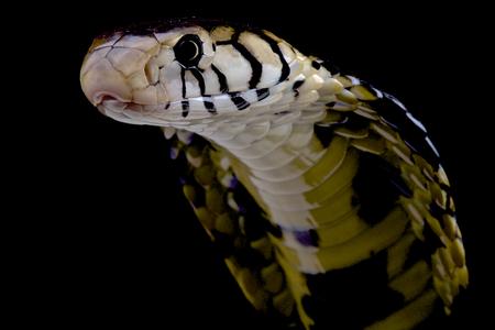 serpiente cobra: Naja melanoleuca melanoleuca Naja Foto de archivo