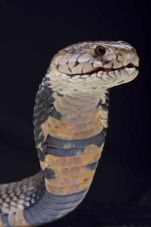 spitting: Nubian spitting cobra Naja nubiae