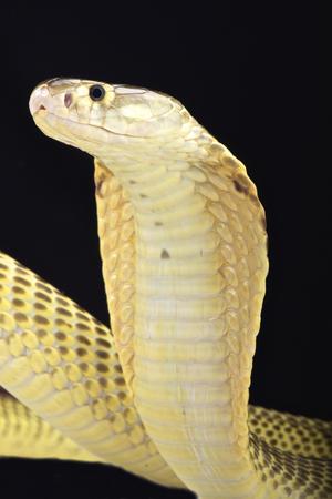 Sumatraanse cobra Naja sumatrana