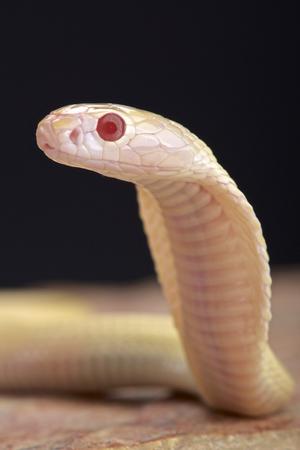 Albino cobra Naja kaouthia