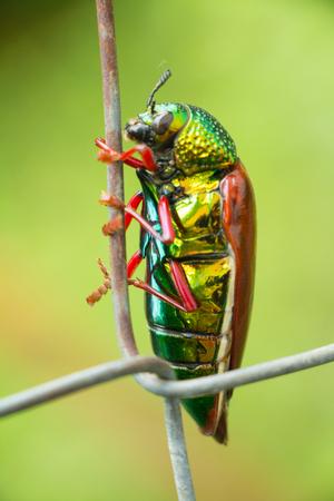Jewel beetle of family sternocera