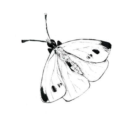 White cabbage butterfly illustartion on white background