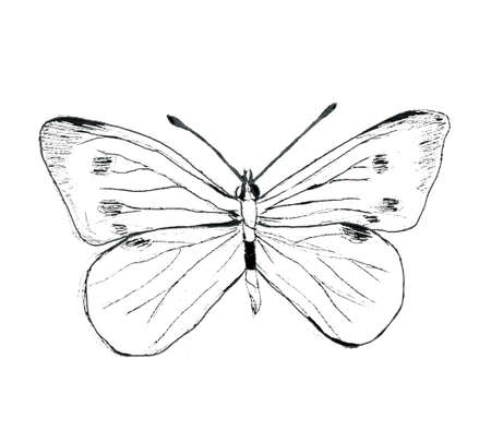 Hand drawn large white cabbage butterfly illustartion Stock fotó