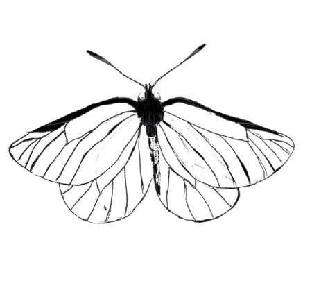 Hand drawn large white butterfly illustartion