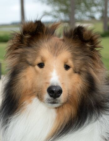 Close up of the friendly face of a young adult Shetland Sheepdog, a breed of herding dog often referred to as a sheltie or collie