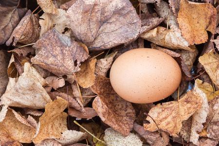 chicken egg: chicken egg on leaves Stock Photo