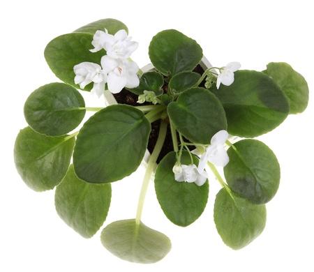 Violet plant met witte bloemen. Bovenaanzicht. Geïsoleerd op wit.