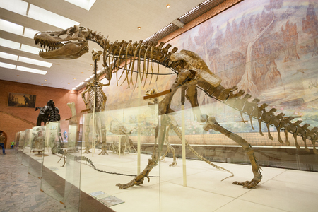MOSCOW, RUSSIA - AUGUST 20, 2017: Skeletons of dinosaurs at Paleontological Museum. Skeleton of tarbosaurus is in foreground.