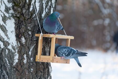 MOSCOW, RUSSIA - JANUARY 09, 2019: Two pigeons eating from a wooden feeder in Lianozovsky Nursery park in Leskova Street on winter day. Leskova Street is located in Bibirevo district in north of Moscow. Editöryel