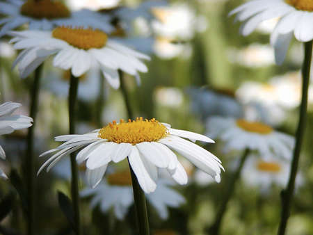 upclose: Daisys