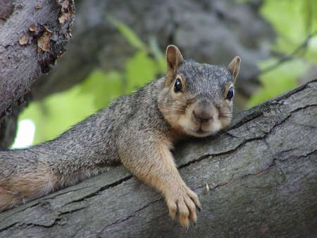 critters: Red-Brown Squirrel Posed Stock Photo