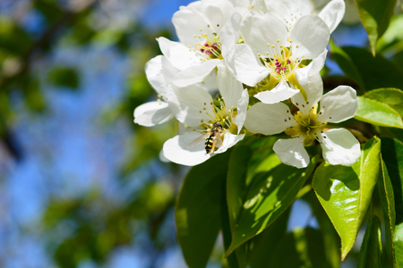 Bee on apple blossom, closeup of a beautiful spring against blue sky, shallow field Stock Photo