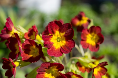 Spring flower bed - primula elatior blossoming in a garden in the summer