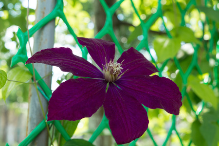 clematis flower on a bed in a garden. a green background from plants, a grass and leaves